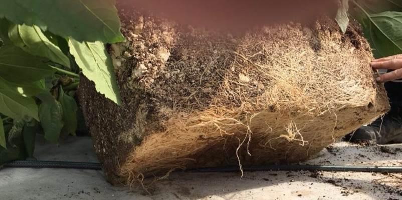 uitstekende doorworteling aardpeer in tuinaarde met vlokken