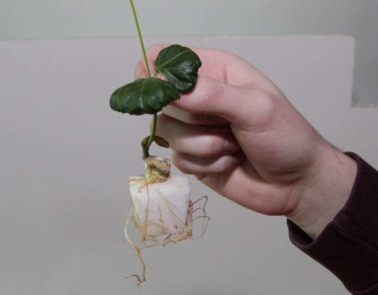 uitstekende doorworteling bruine bonenplant in fytocell plug