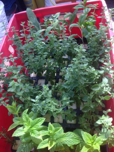 diverse planten (?) groeien uitstekend in fytocell plugs