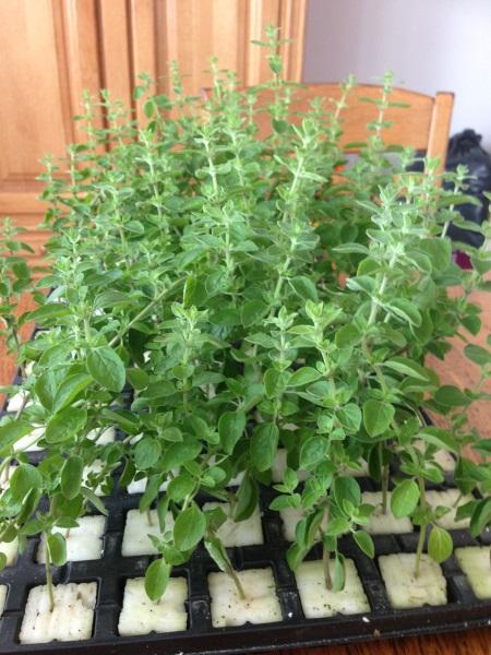 planten(?) groeien uitstekend in fytocell plugs