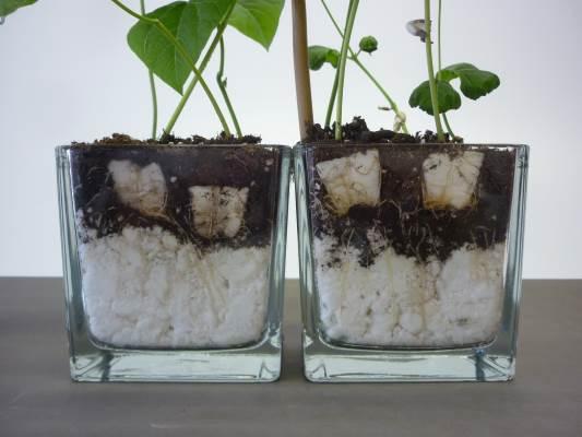 plugs in pot met vlokken en potgrond