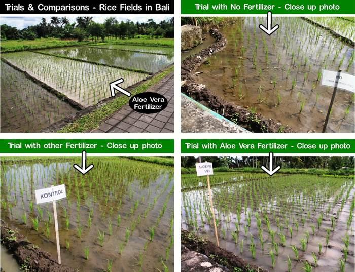 professioneel experiment rijstteelt indonesië, organische plantenvoeding vs chemische plantenvoeding
