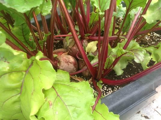 rode bieten aan plant