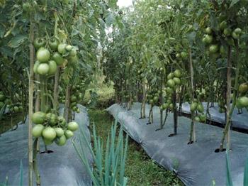 tomatenveld