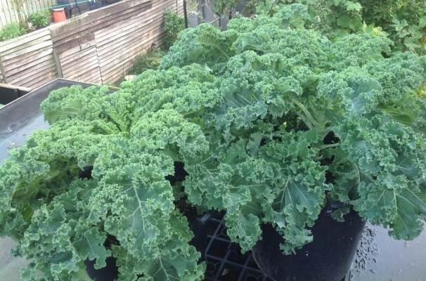 boerenkoolplant